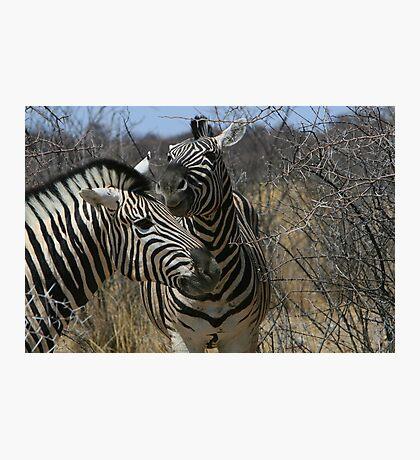 Zebra Romance Photographic Print