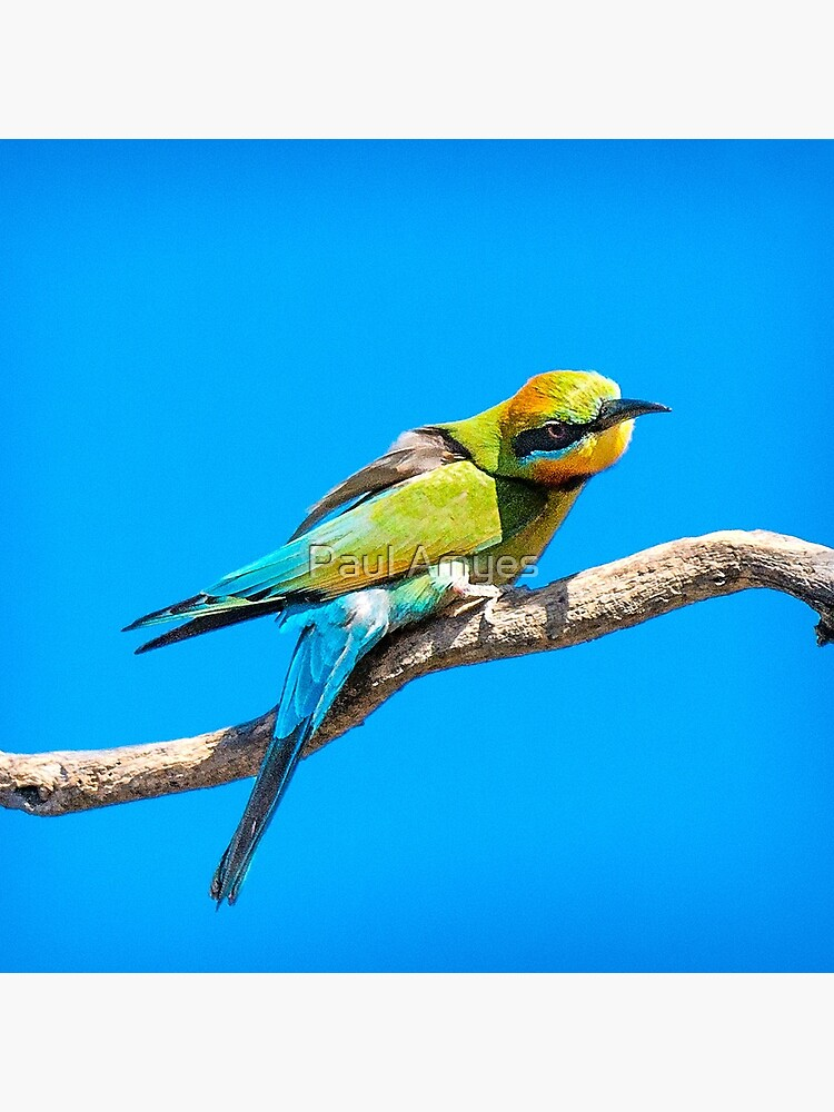 Rainbow Bee Eater by AmyesPhotograph