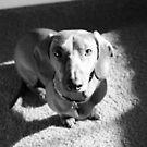 Dachshund Puppy by ericafaye