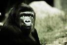 Gorilla 2 by KatsEyePhoto