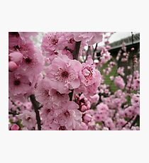 Pink Blossoms Rule Photographic Print