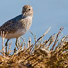 Least Sandpiper by Leroy Laverman