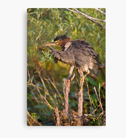 Green Heron, all puffed up   Canvas Print
