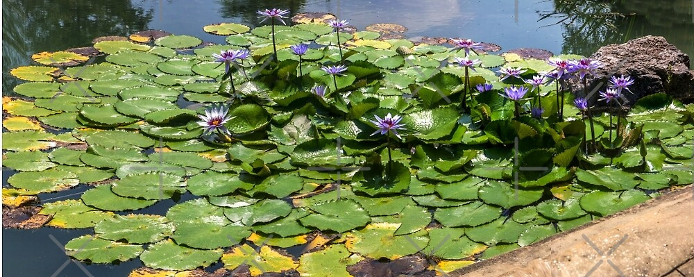 Lily Pads with Lilies by dm-photography