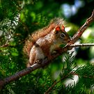 Baby Red Squirrel by Larry Trupp