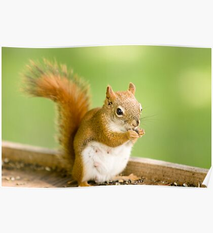 Red Squirrel (female) Poster