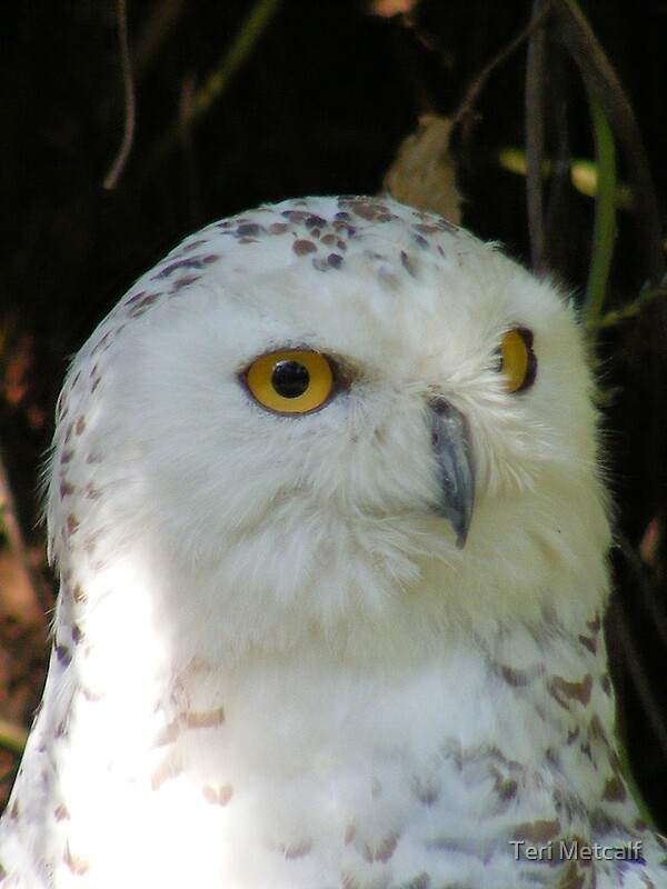 Quot Snowy Owl Baby Quot By Teri Metcalf Redbubble