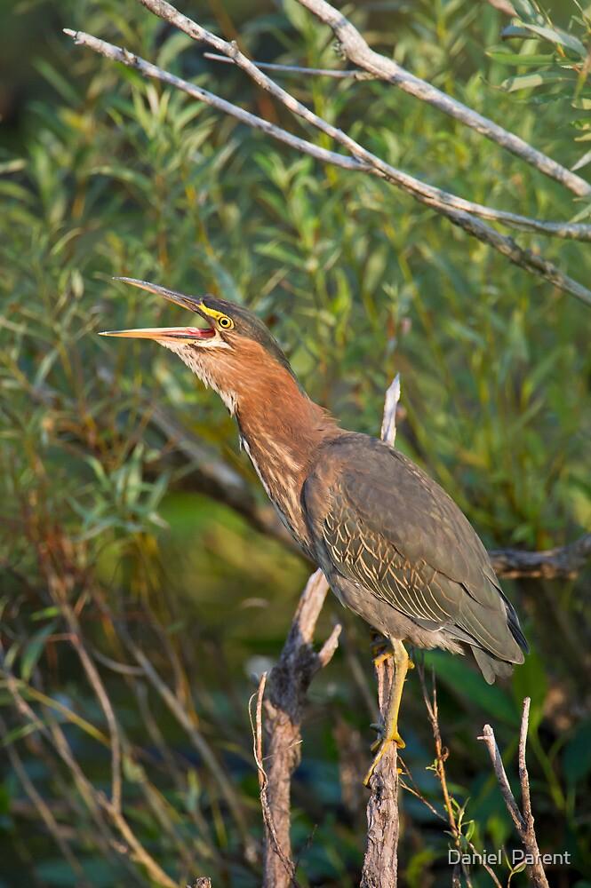 Qwawk... calling all herons by Daniel  Parent