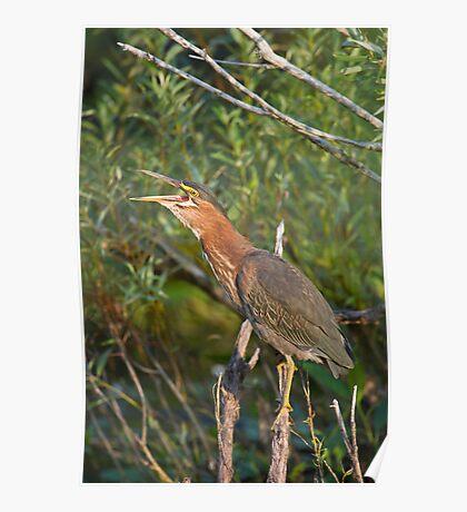 Qwawk... calling all herons Poster
