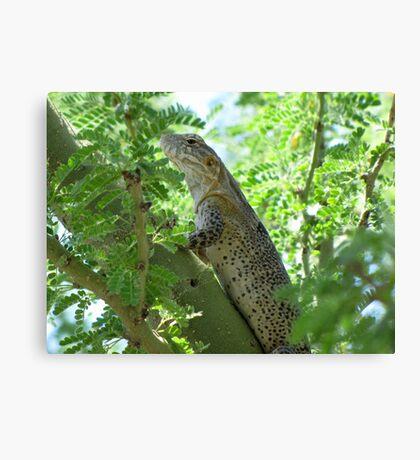 Sonoran Spiny-tail Iguana  ~ Juvenile Canvas Print