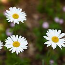 Cluster of White Daisies by Lane Billings