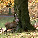 Red Deer at Studley Royal Deer Park by Trevor Kersley
