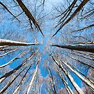 Upward perspective view of tall trees on a blue sky background by Sergey Orlov