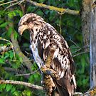 Young Eagle Riverside by KnutsonKr8tions