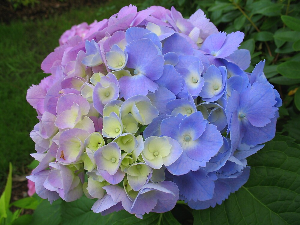 COLORFUL HYDRANGEA by Joan Harrison