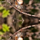 Goldfinch and Reflection by Martin Smart