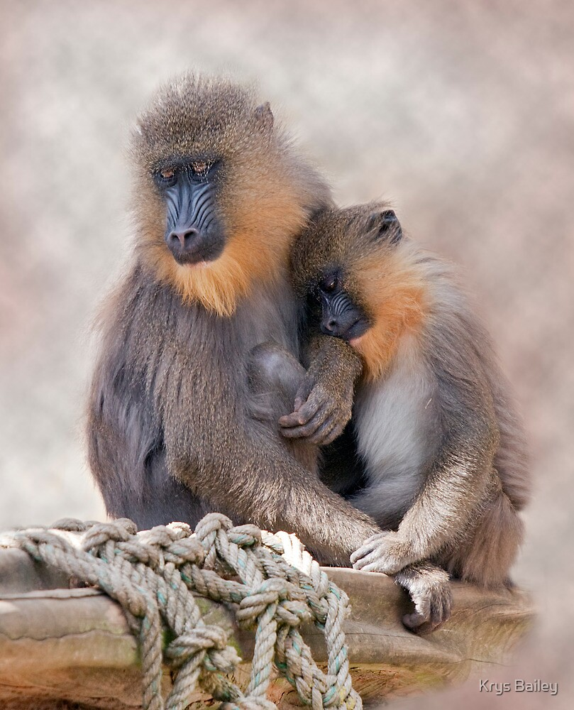 Mandrill and Young by Krys Bailey