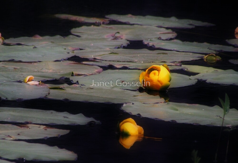 Water lily by Janet Gosselin