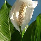 « Anthurium Blanc » par Ana Belaj