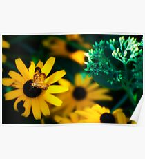 Butterfly on Blackeye Poster
