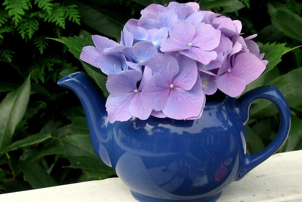 HYDRANGEA IN TEAPOT by Joan Harrison