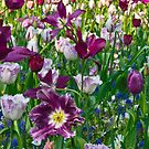 Shades of purple Tulips by Lindie Allen