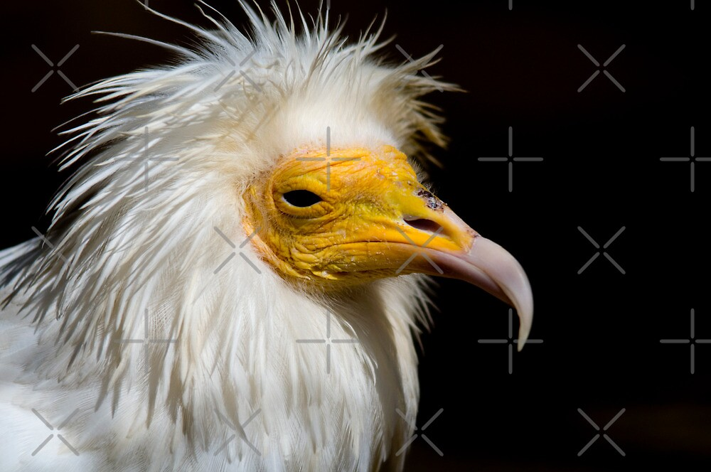 Egyptian Vulture - (Neophron percnopterus) by Robert Taylor