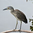 A Juvenile Yellow-Crowned Night Heron by Jeff Ore