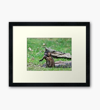 Barbary Monkeys,Primates, Small, young, babies, Animals,  Framed Print