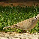Dove in  my garden by BaZZuKa