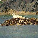 Grey Seal Pup ~ Farne Islands ~ by Sandra Cockayne