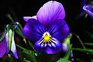 Pretty Purple Pansy by Tori Snow