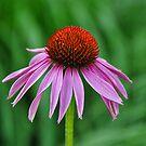 Purple Coneflower by Nancy Barrett