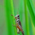 Grasshopper by Nancy Barrett