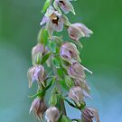 Helleborine Orchid by Nancy Barrett