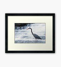 Great Blue Heron Stalking Framed Print