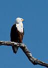 African Fish Eagle (Haliaeetus vocifer) Chobe River, Botswana by Neville Jones