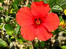 Hibiscus by ValeriesGallery