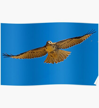 082810 Red Tailed Hawk Poster