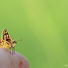 Checquered  skipper on the photographer's finger B by pogomcl