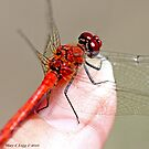 Red-veined Darter, Sympetrum fonscolombii on the photographer's thumb by pogomcl
