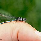 Azure Damselfly in the photographer's thumb B by pogomcl