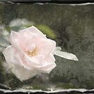 Solitary Pale Rose  by Alana Ranney