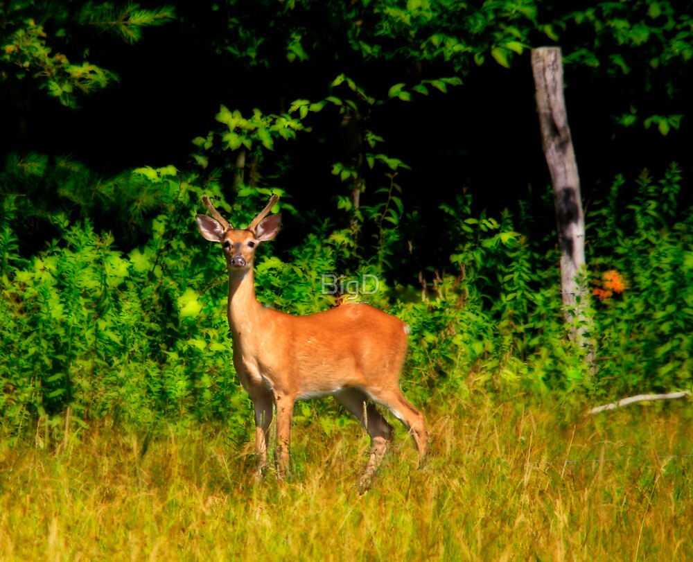 Whitetail by BigD