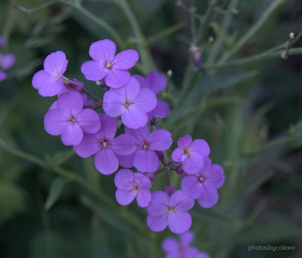 "small purple flower cluster"" by photosbycoleen  redbubble, Beautiful flower"