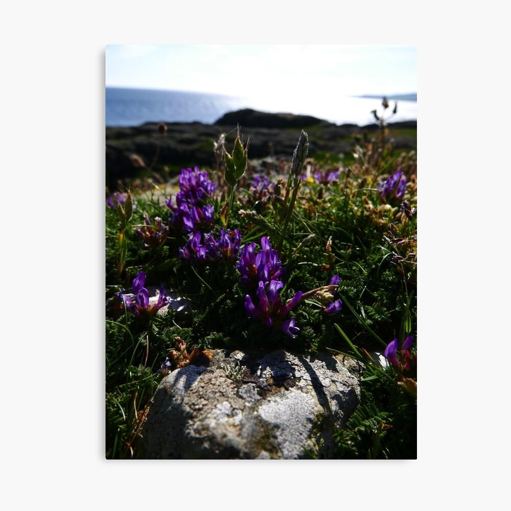 Purple Milk Vetch (Astragalus danicus) Canvas Print