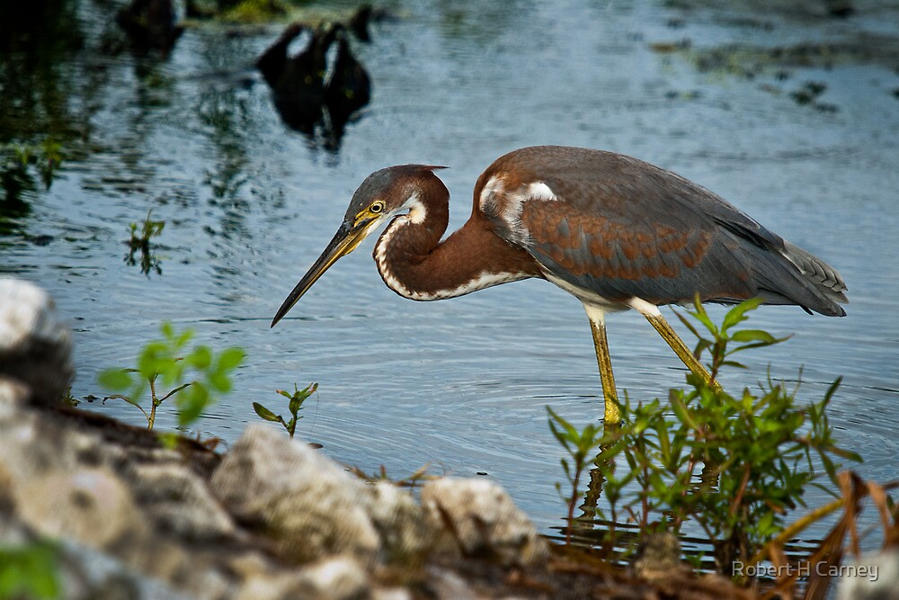 Tricolor Heron Hunting by Robert H Carney