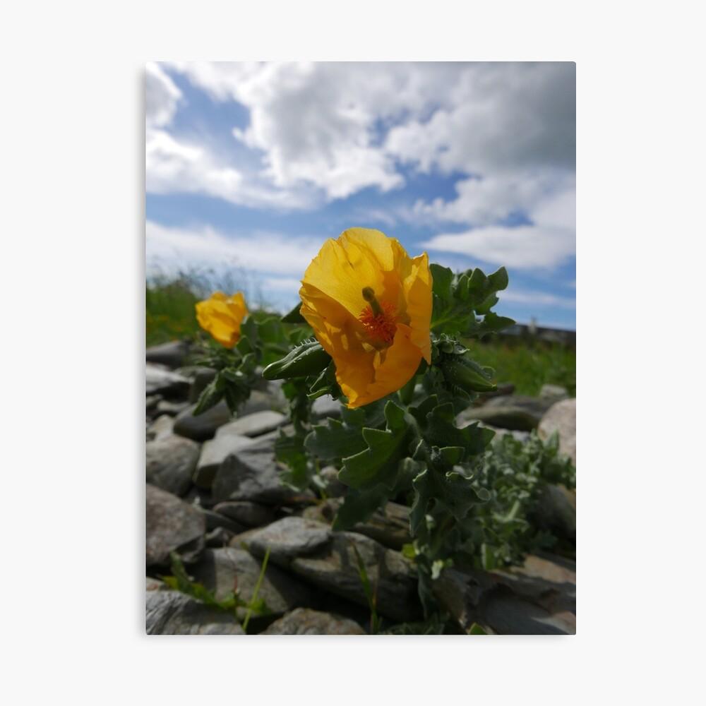Yellow Horned Poppy (Glaucium flavum) Canvas Print