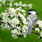 Chickadee on Apple Blossom by Alana Ranney