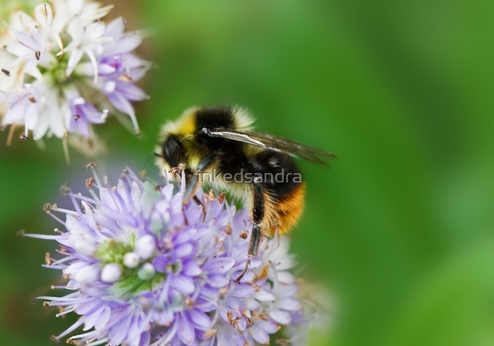 Red shanked carder bee,Bombus ruderarius. by inkedsandra